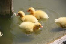 Ducklings In A Lake