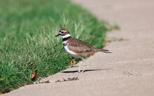 Killdeer Shot Taken By Sidewalk Alongside Local Pond