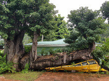 Yellow School Bus Crashed By A Baobab  On Dominica Island