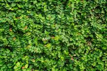 Green Leaves Wall Background - Full Frame Shot Of Green Leaves