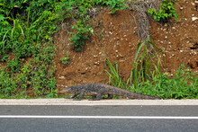 A Large Spotted Monitor Lizard Is Walking Along The Side Of The Road. The Background Is A Hillside With Green Vegetation. Sri Lanka.
