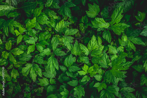 Tableau sur Toile Nature background flat lay of green leaves