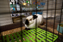 Isolated, Close View Of Standard Californian Himalayan Markings Rabbit In Wire Cage At The Fair