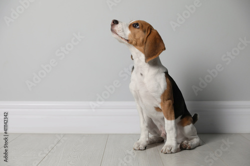 Canvastavla Cute Beagle puppy near grey wall indoors. Adorable pet