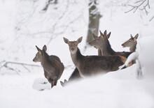 Herd Of Red Deer In Winter Landscape. Wildlife Scene From Winter Forest. Cervus Elaphus.