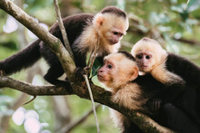 White Faced Capuchin Monkey Family In Trees In Costa Rica Rainforest