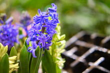 Seedlings Of Hyacinth Flowers, Copy Space For Text. Sale Of Indoor Plants And Flowers For Home Gardening.