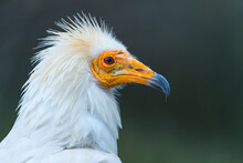 Detail Of The Head Of An Egyptian Vulture (Neophron Percnopterus). White Scavenger Vulture Or Pharaoh's Chicken. In Spanish Alimoche Común, Abanto,​ Guirre O Buitre Egipcio