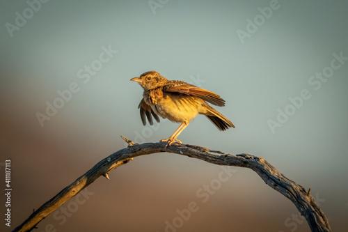 Obraz na plátně Rufous-naped lark fluttering wings on curved branch
