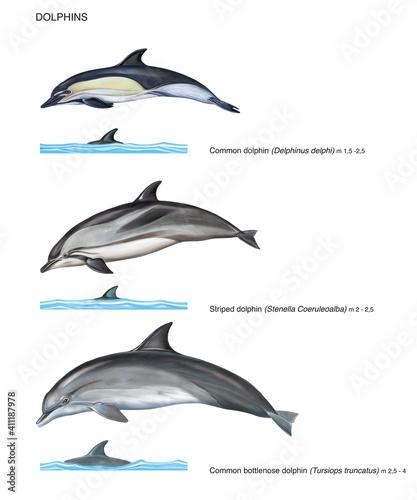 Fotografie, Obraz scientific illustration of 3 species of dolphins on white background: common dol