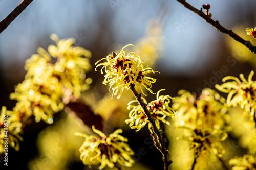 Obraz na plátně Vibrant Yellow Hamamelis Mollis, also known as Witch Hazel Flowers, on a Sunny W
