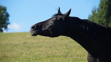 Black Horse On Pasture, Shaking Head Because Of Annoying Flies And Mosquitos