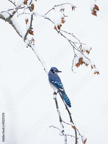 Fototapeta Blue jay perches on tree branch covered by snow, Ottawa