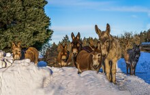 Group Of Donkeys In Snow Looking Into The Camera