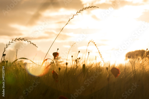 Fototapeta poppies at sunset in spring  obraz