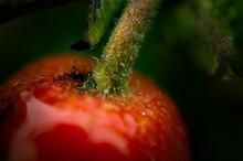 Macro Image Of Ripe Rosehip Fruit After Rain