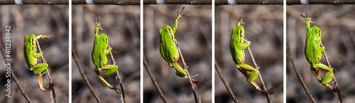 Photo European tree frog (Hyla arborea) reaching for a branch in natural habitat, smal