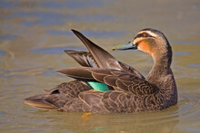 Pacific Black Duck, Anas Superciliosa, Preening Plumage On The Water