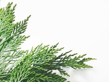 Horizontal Banner Of Various Evergreen Needles In The Lower Left Corner On A White Background.