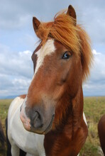 Portrait Of A Blue Eyed Brown And White Horse In The Field
