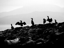 Great Cormorant (phalacrocorax Carbo), Known As The Black Shag And Some Seals On The Scottish Coast
