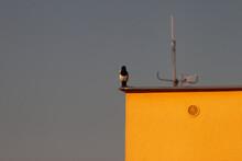 La Pie Sur Le Toit D´un Immeuble Aux Murs Jaune, Le Ciel Est Sombre Et Contratse Avec La Couleur Du Mur.