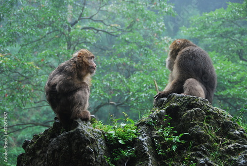 mother and baby mountain monkies over a rock in front of a forest Wallpaper Mural