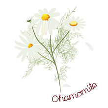 Chamomile Pharmacy, Flowers, Bud And Leaves. Design For Packaging Herbal Tea, Natural Cosmetics, Health Care Products, Aromatherapy. Healing Herbs. Vector Illustration Isolated On A White Background.