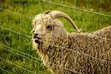 Sheep Sticking Tongue Out Of Fence