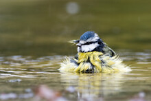 Blue Tit Bathing In A Puddle