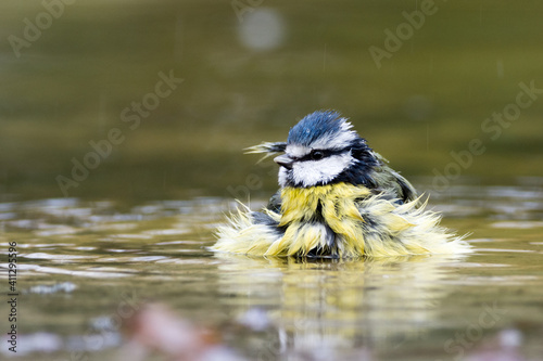 Blue tit bathing in a puddle Fotobehang