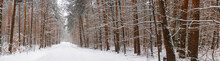 Winter Pine Forest Under White Snow.  Winter Forest Landscape. Tall Trees Under Snow Cover. Snowy Path During Winter In The Forest.