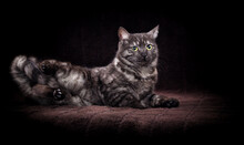 Tabby Cat Lies On A Dark Background