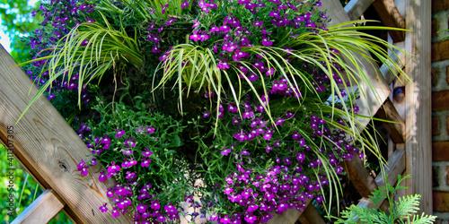 Fotografie, Obraz Vertical Gardening utilizing framed slats on an angle with Japanese variegated s