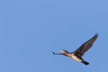 Black Cormorant Bird In Close Up Flying Into The Sun Against A Neutral Blue Sky Background. Sunlight Reflects In The Green Eye. Negative Space For Text.
