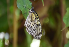 Rice Paper Butterfly In A Lush Green Garden