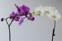 White And Purple Orchids In Touch, Reunion, Convergence Despite Differences, Diversity