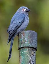 Nature Wildlife Image Of An Ashy Drongo Bird