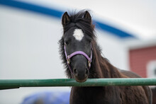 A Black Adult Horse With A White Heart Shape On Its Forehead Leans Over A Green Fence. The Large Domestic Animal Has Ears Pointing Upwards, A Long Mane And Chestnut Colour Hair With A Pink Bridle.