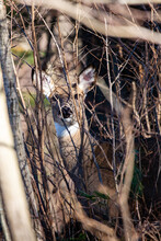 White-tailed Deer (odocoileus Virginianus) Looking Through The Wisconsin Thick Brush
