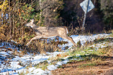 White-tailed Deer (odocoileus Virginianus) Leaping Across A Road Ditch In Wisconsin