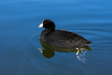 An American Coot, Fulica Americana, Swims Closeup In Clear Water. Its Feet Feet Are Visible Below The Water, Along With Its Reflection On The Surface