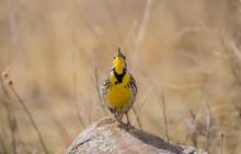 Western Meadowlark Singing On Rock