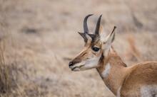 Male Pronghorn Antelope In Field