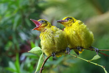 Two Black Naped Oriole (Oriolus Chinensis) Are Perched On Wild Plant Branches.