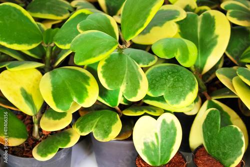 Fototapeta Nature sweetheart hoya leaf pot ornamental plant or Hoya kerrii Craib  on backgr