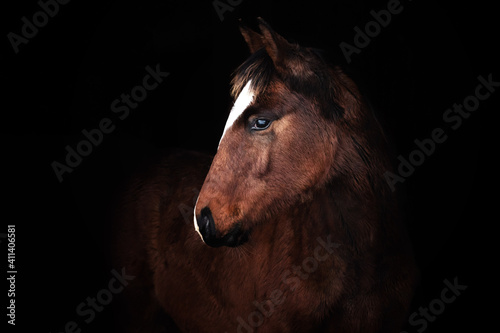 Foto Bay small foal in natural furry winter coat against black bacground