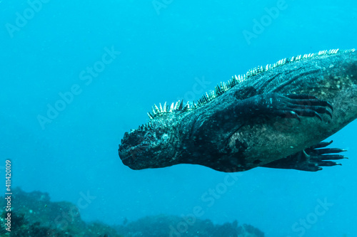 Fototapeta The marine iguana (Amblyrhynchus cristatus) diving to feed on sea grass