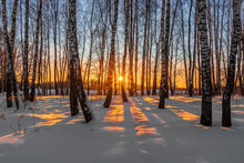 Sunset Or Sunrise In A Winter Birch Grove With  Snow On Earth. Rows Of Birch Trunks With The Sun Rays Passing Through The Trees