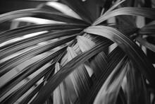 Palmera Tropical En Blanco Y Negro